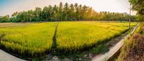 全景水稻田