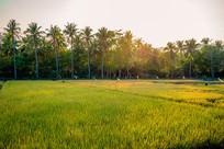 三亚的稻田