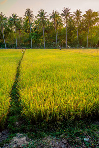椰林下水稻