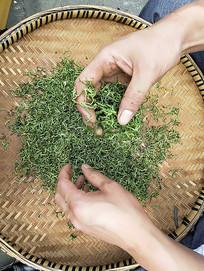竹筛上制茶
