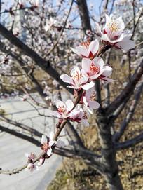 春天盛开的粉色桃花枝