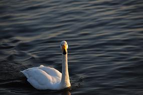 独游的天鹅