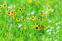 金黄色的野菊花