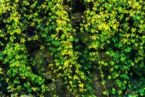 墙壁上的攀援植物