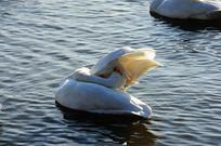 清理羽毛的天鹅
