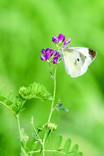 小紫花上的蝴蝶