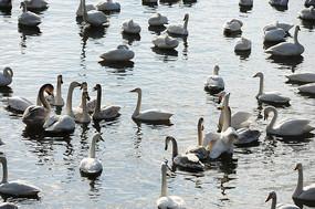 一群白天鹅