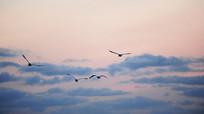 云间飞行的天鹅