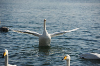 展翅欲飞的天鹅