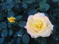 绽放的粉色月季花