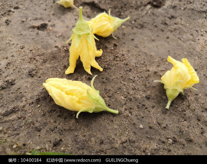 掉在地上的黄色丝瓜花图片