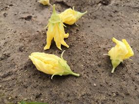 掉在地上的黄色丝瓜花