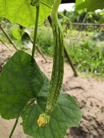 瓜棚里的无公害新鲜丝瓜
