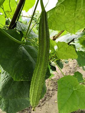 挂在瓜棚里的丝瓜