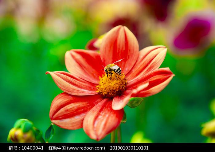 花丛中采蜜的小蜜蜂图片