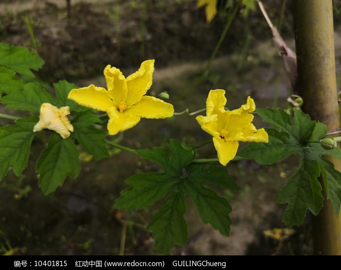 黄色苦瓜花朵拍摄图片