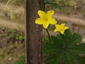 黄色苦瓜花素材