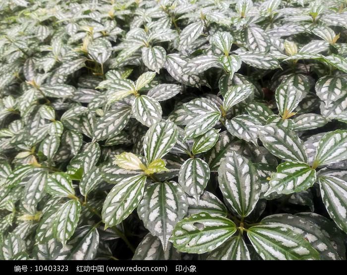 花叶冷水花图片