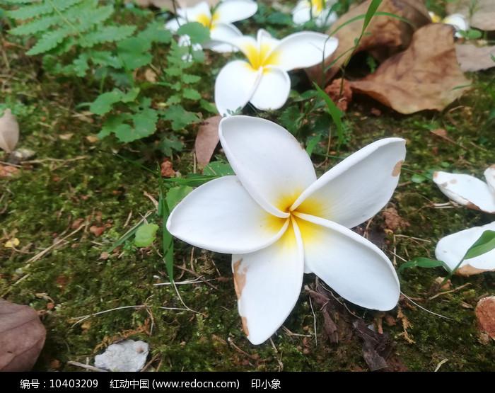 落叶鸡蛋花图片