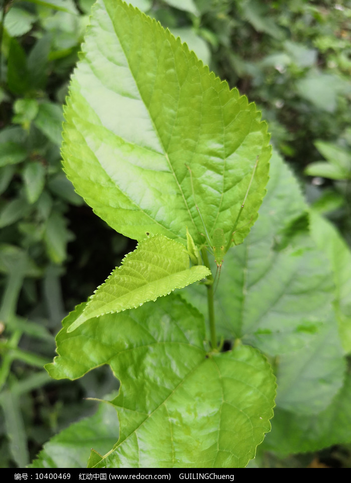绿色桑树叶图片