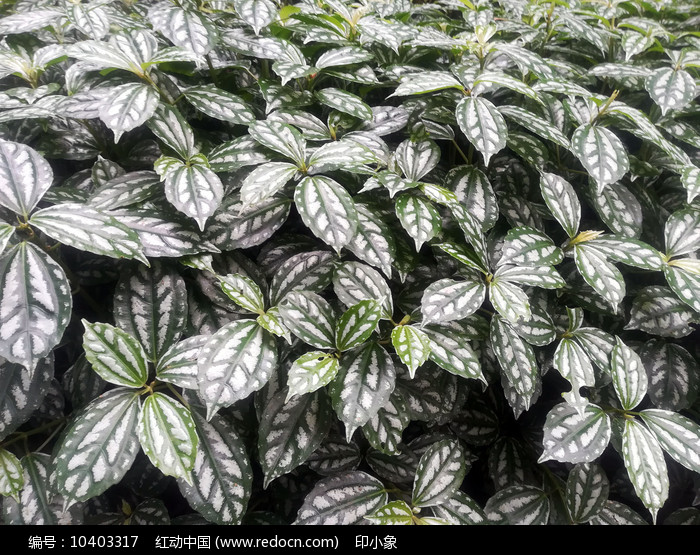 绿油油的花叶冷水花图片