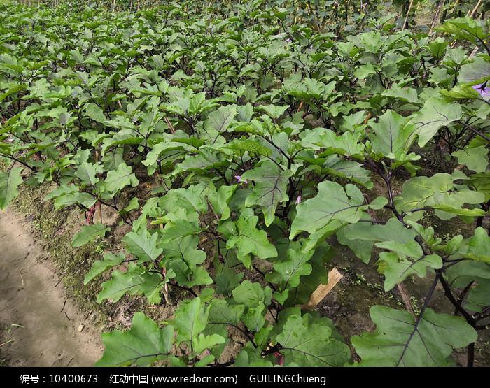 茄子种植基地图片