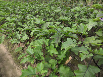 茄子种植基地