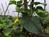 青瓜果实和藤蔓
