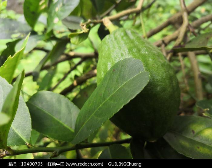 青柠檬拍摄素材图片