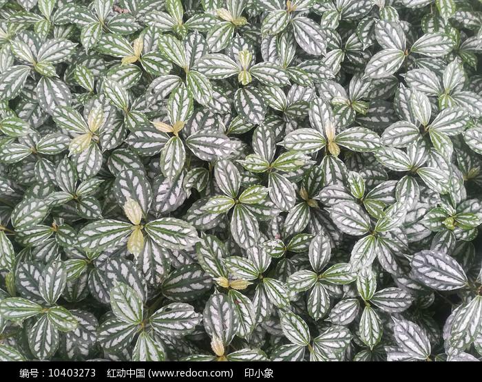 清新的花叶冷水花图片