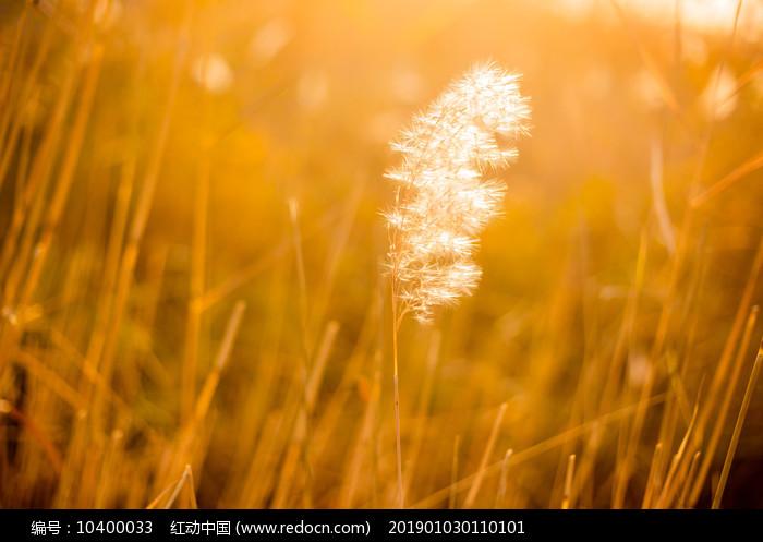 秋季暖光下的一束芦苇花图片