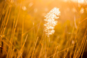 秋季暖光下的一束芦苇花