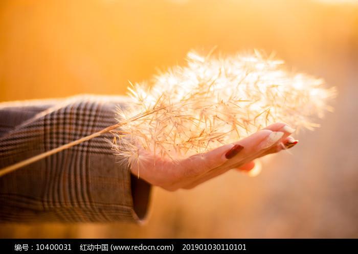 手捧暖暖的一束芦苇花图片