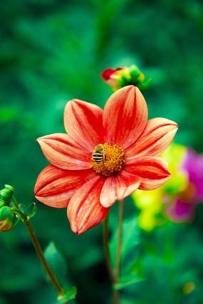 太阳花和蜜蜂的故事
