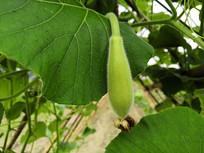 藤枝上挂着的长满绒毛的瓠瓜幼果