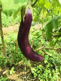 一根紫色的茄子拍摄素材