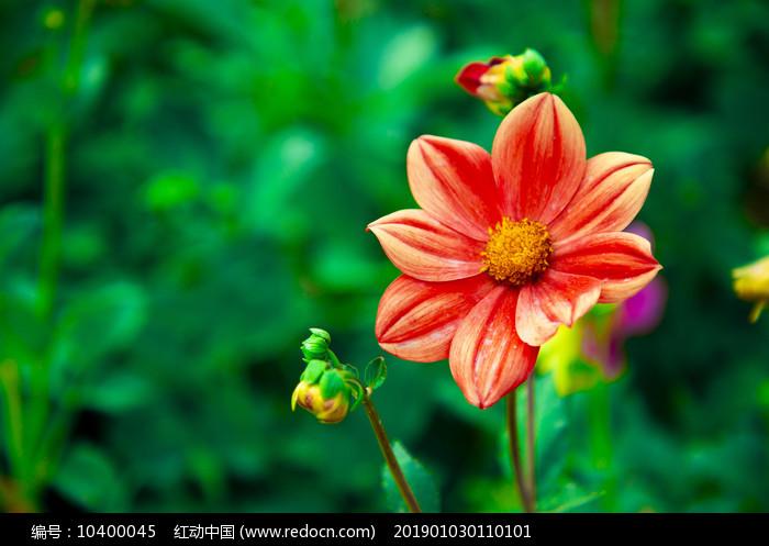 一束红色太阳花图片