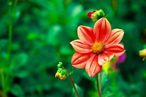 一束红色太阳花
