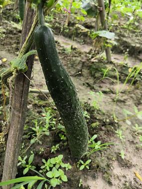 一条沾满泥土的青瓜拍摄
