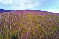 大兴安岭春季森林杜鹃花