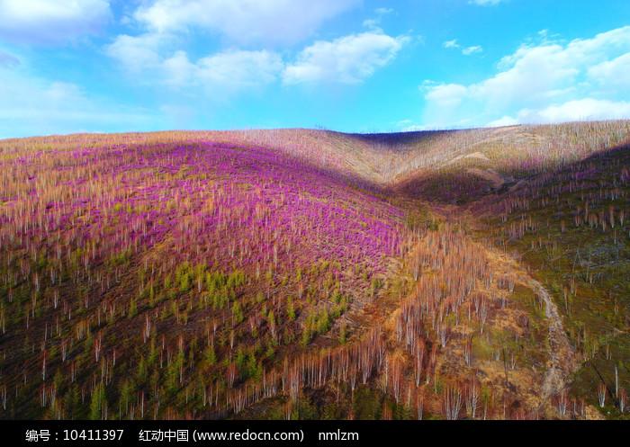 杜鹃花染红了春季山林图片