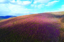 山岭树林杜鹃红