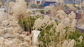 冬天公园的芦苇花