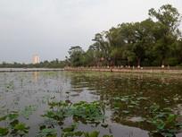 济南大明湖菏塘
