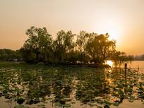 济南大明湖夕阳下的垂柳
