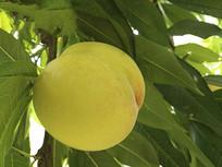 采摘园黄桃