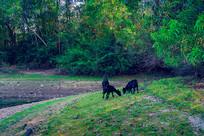 草地上黑色的羊