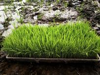 稻田秧苗素材