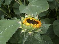 花苞向日葵