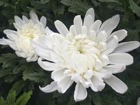 菊花白色花束